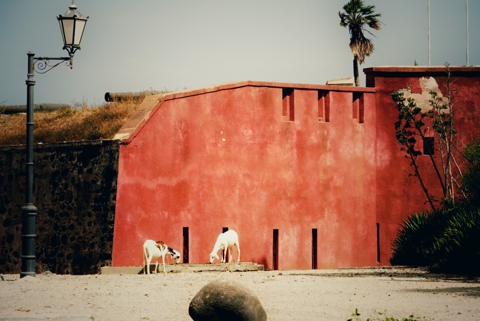 ゴレ島のヤギ